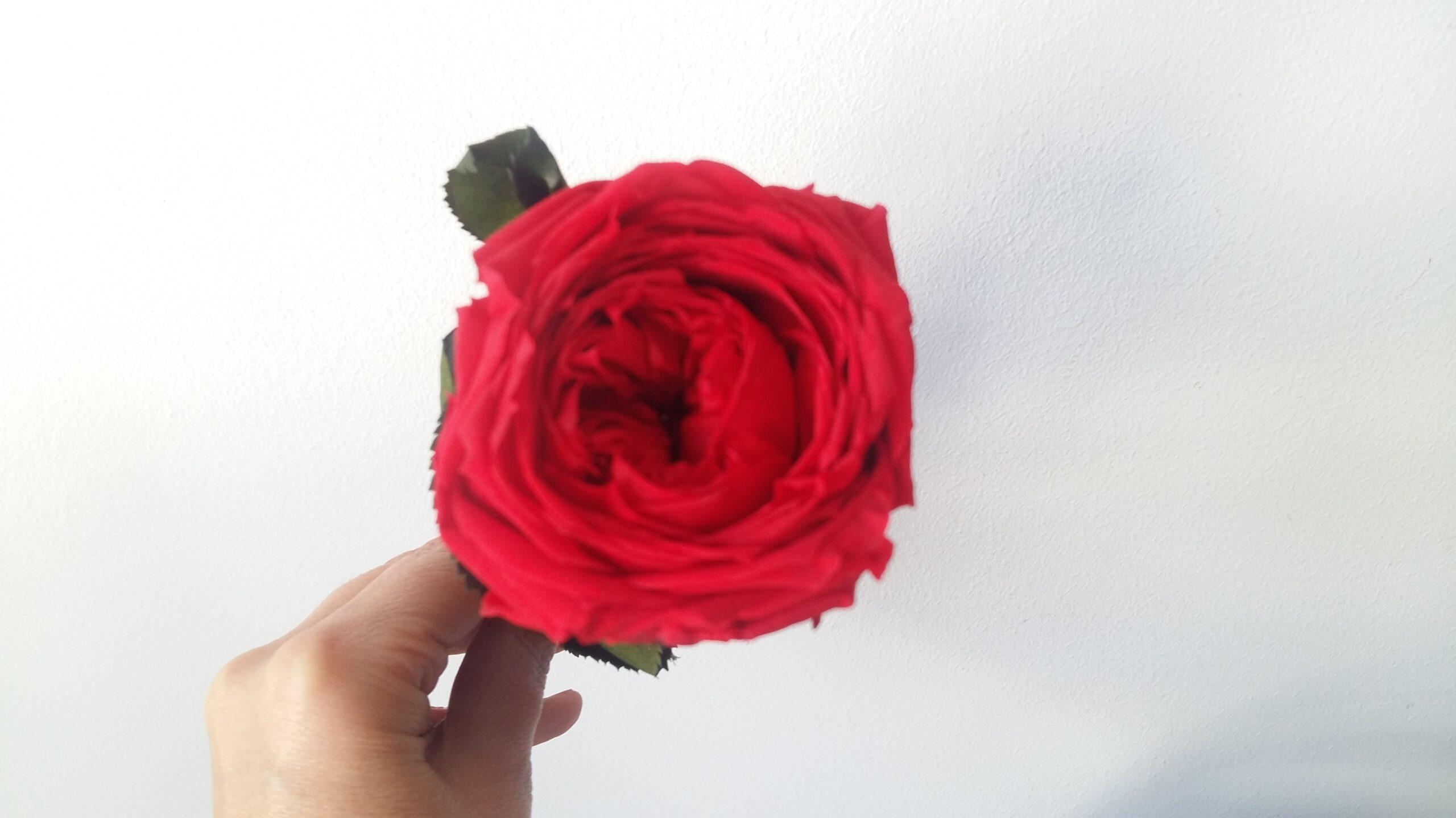 Rosa de Sant Jordi. Terrassa Sabadell